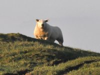 Sheep nearby Cults Cottage self catering holiday cottage, Whithorn, Dumfries and Galloway